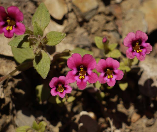 kellogg's monkeyflower