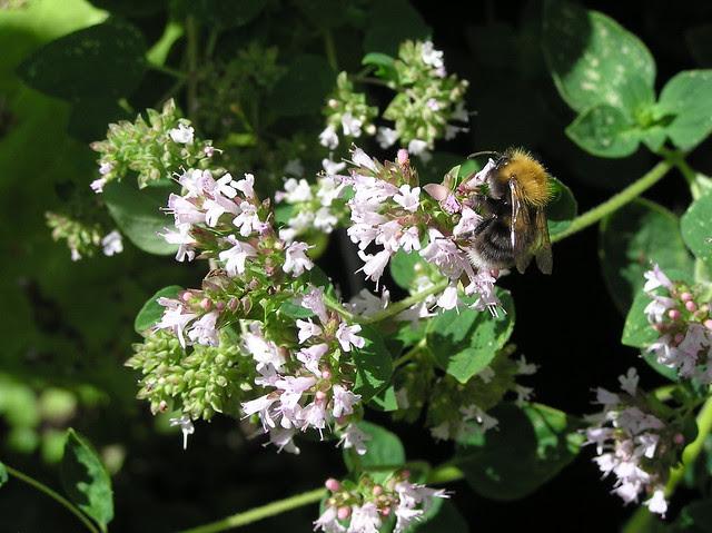 Bumblebee, Bombus hypnorum
