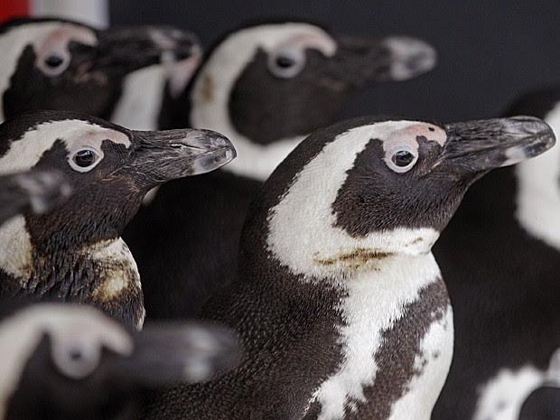 Pinguins (Foto: Schalk van Zuydam/AP)