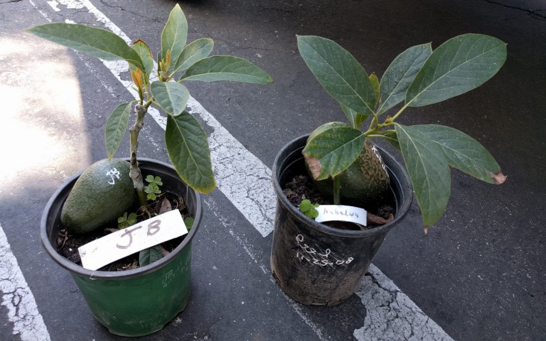 How To Plant And Stake An Avocado Tree Greg Alders Yard Posts