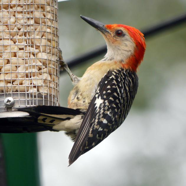 Ed Gaillard: birds &emdash; Red-Bellied Woodpecker, Traveler Food & Books