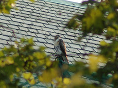 Divine Red-Tailed Hawk atop Cathedral School