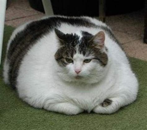 Fat Cats Awesome Photographs   Funny And Cute Animals