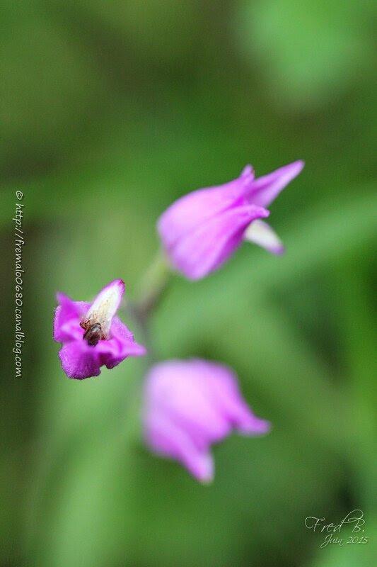 Cephalanthera rubra