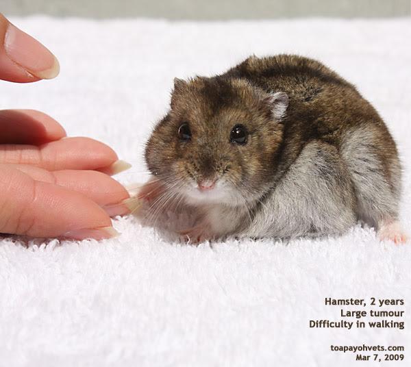 http://www.kongyuensing.com/pic/20080307Hamster_Dwarf_2_years_Large_Fat_Tumour_ToaPayohVets.jpg
