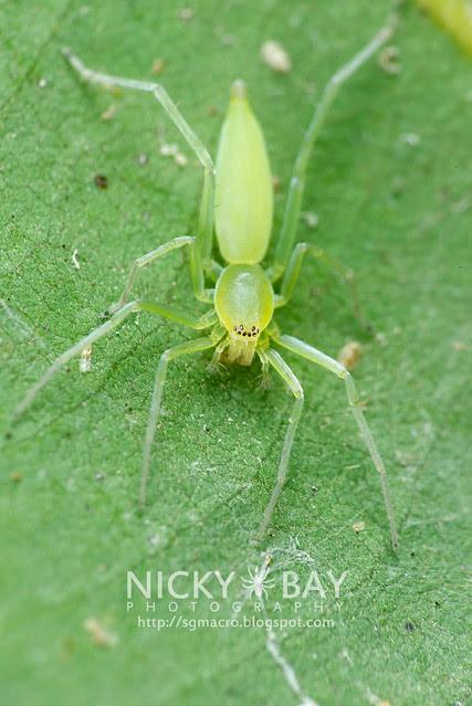 Sac Spider (Clubionidae) - DSC_6502