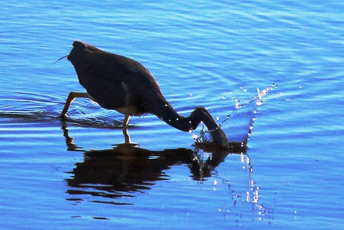 IMG_3747_Tricolored_Heron