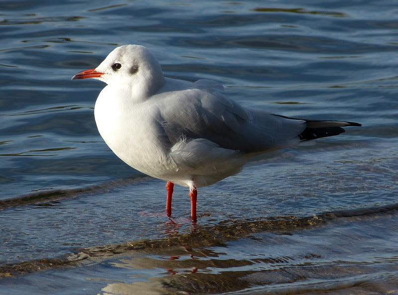 P1060253 - Black Headed Gull, Cosmeston