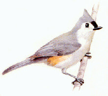 Tufted Titmouse Picture