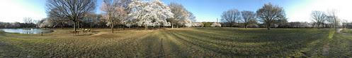 Cherry Blossom - Panorama 8