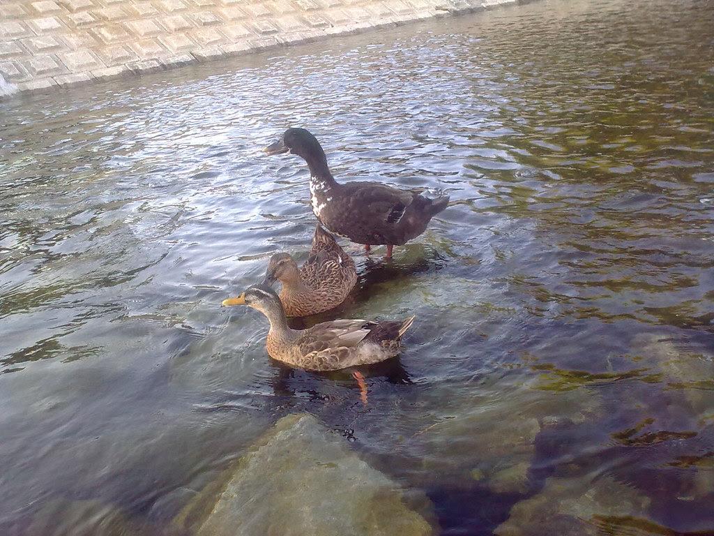 대구 신천둔치 청둥오리 가족 wild duck family at Sinchundunchi, Daegu #6