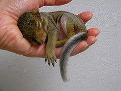 Update On Baby Squirrel Rehabber