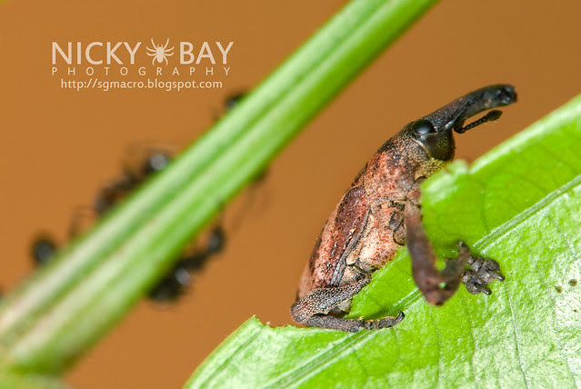 Weevil (Curculionidae) - DSC_7393