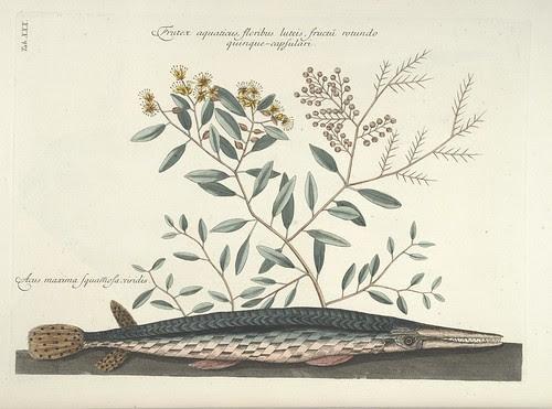 Frutex aquaticus, floribus luteis, fructu rotundo quinque-capsulari AND Acus maxima Squamosa viridis