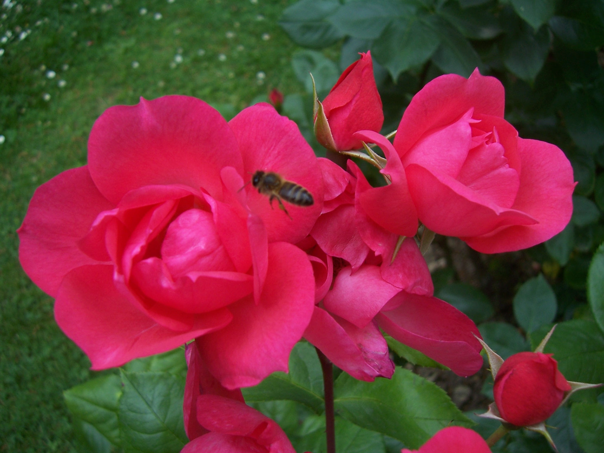 Photo de roses Anne de Bretagne