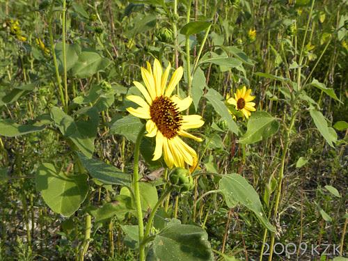 Sunflower in field with Grasshopper