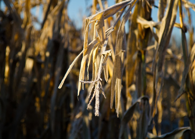 Frost on Corn