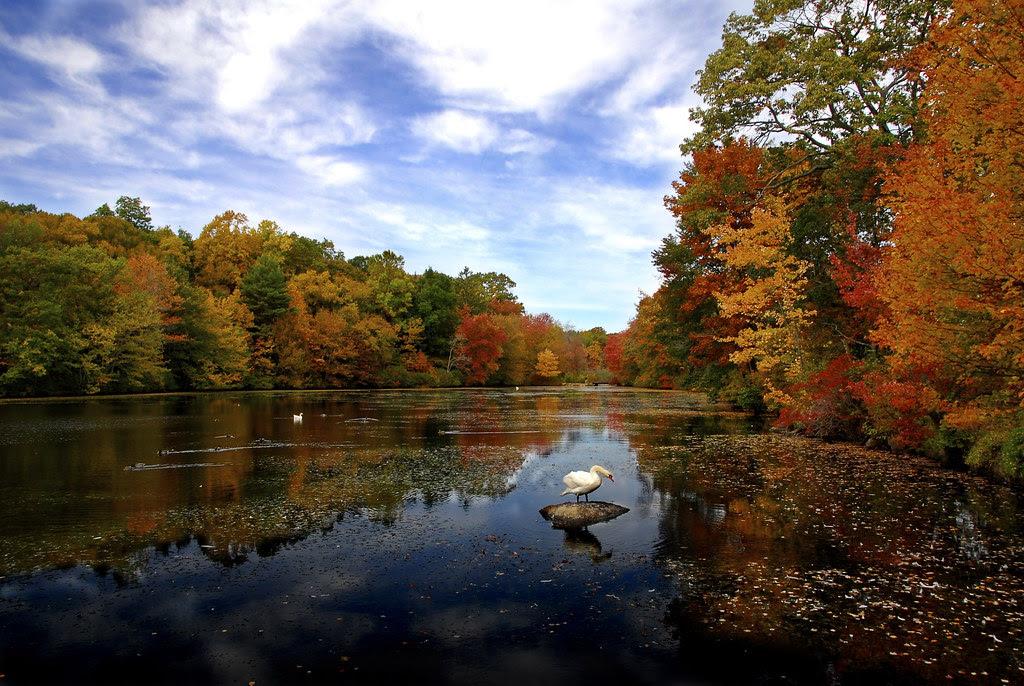 Swan in autumn