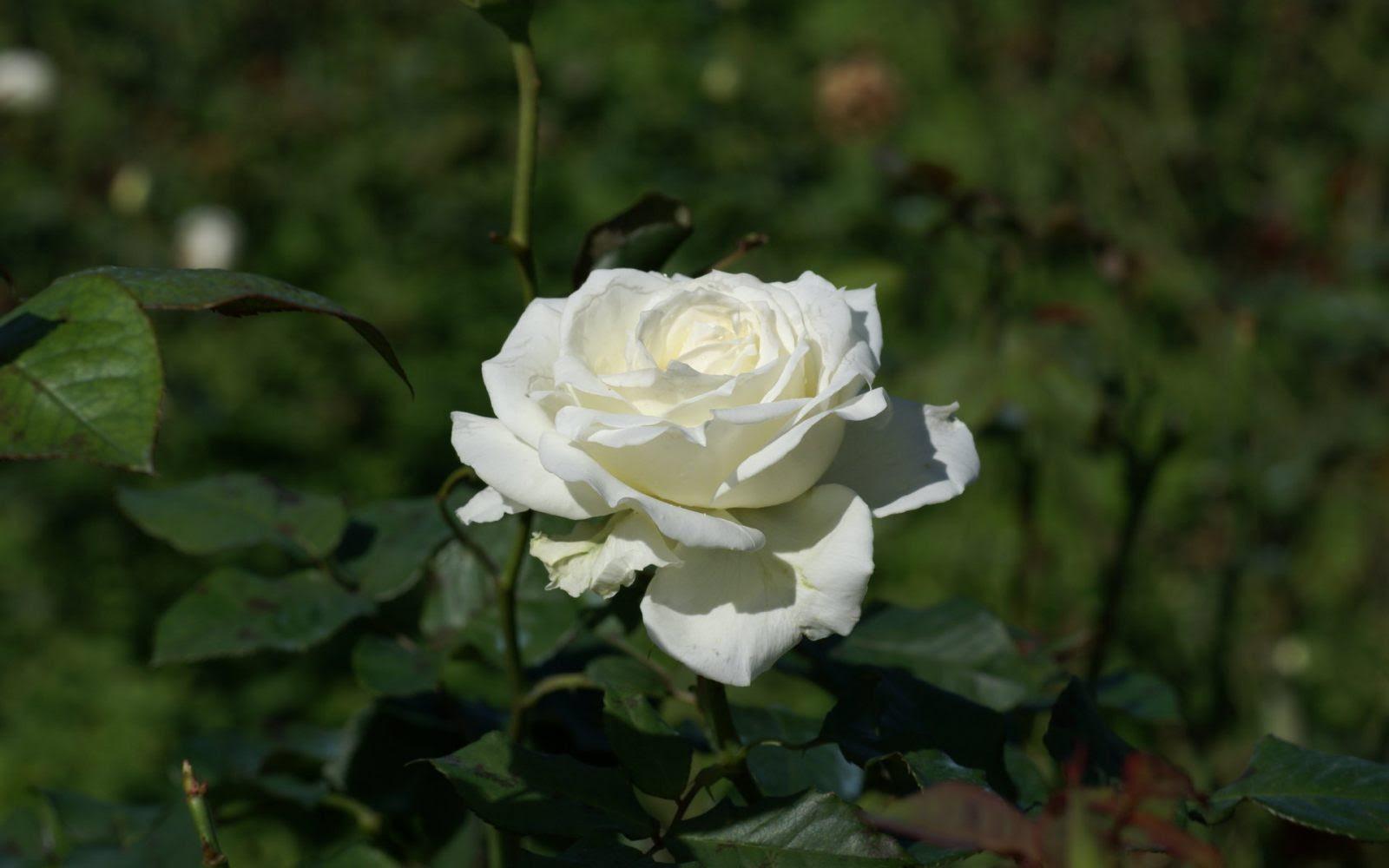 Rosa Blanca Silvestre Imágenes Y Fotos