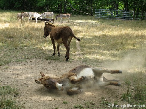 Donkey Doodle Dandy takes a dust bath (2) - FarmgirlFare.com
