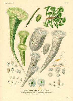 Stentor, Trichodina, Urocentrum