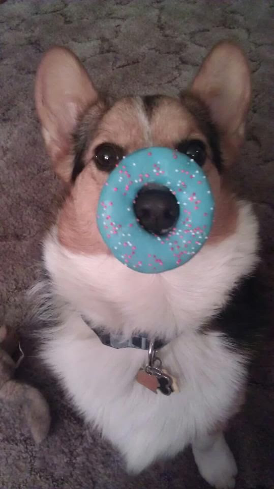 donut corgi - hahahaha no way would Bogart sit still, that thing would have been eaten!