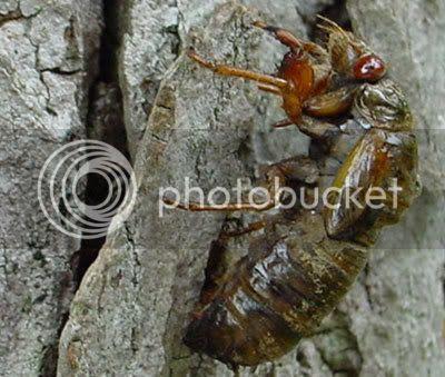 Cicadas emerging from the ground