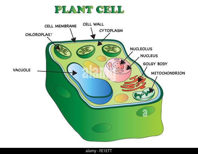 illustration of an plant cell fe1ett