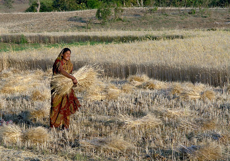 File:Woman harvesting wheat, Raisen district, Madhya Pradesh, India ggia version.jpg