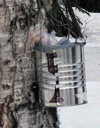Collecting Birch Sap-2