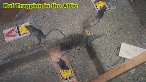 How to Kill Rats   Inside House, Attic, Crawl Space, Etc.