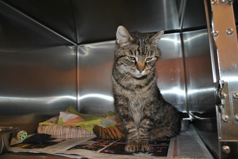 tabby kitty with cast on rear right leg