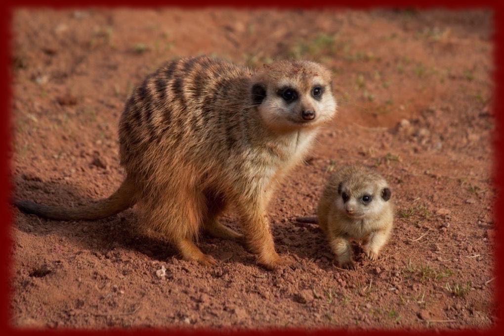 Car Signal For Flat Tire, Cute Meerkats Wallpapers 1  Cute Meerkats Wallpapers 1, Car Signal For Flat Tire