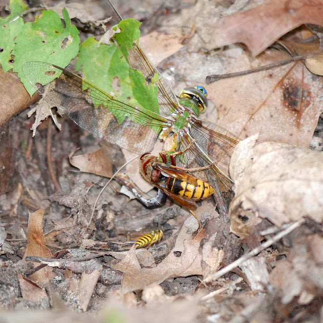 Ed Gaillard: recent &emdash; Wasp eating dragonfly, Inwood Hill Park