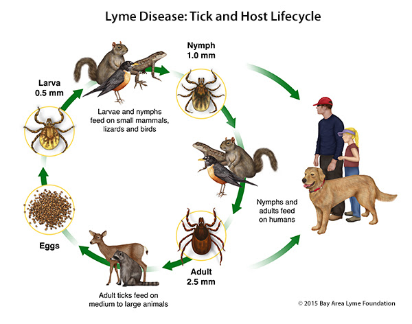 Image result for images of ticks that carry lyme disease