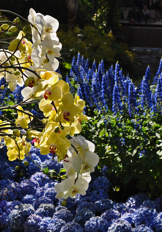 East Conservatory with Bismarckia, Plectranthus, Orchids and Hydrangea (4)