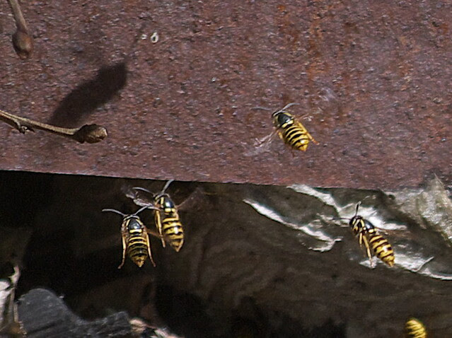 DSC_8222 wasp nest