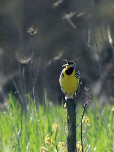 Eastern Meadowlark 2-20130513