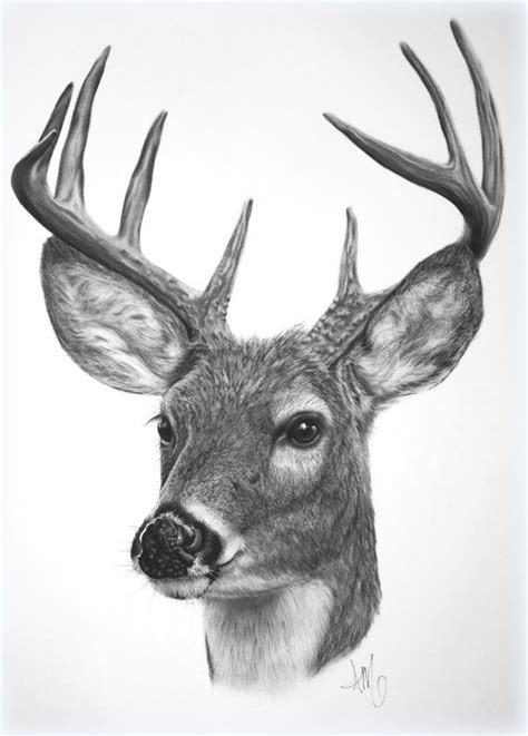 drawing   white tailed deer fine art print sqrd