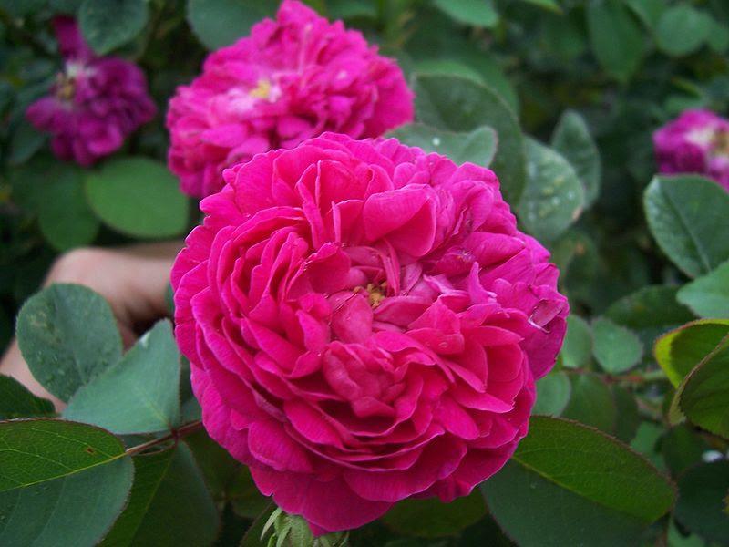 File:Rosa Rose de Rescht.jpg
