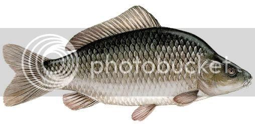 Memancing merupakan salah satu hal yang menyenangkan dan juga dapat mengisi waktu luang se Nah ! Umpan Mancing Ikan Mas Baru Dan Ampuh Sekali