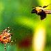 Araneus diadematus - byttet er fanget