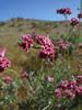 california buckwheat - eriogonum fasciculatum var. polifolium