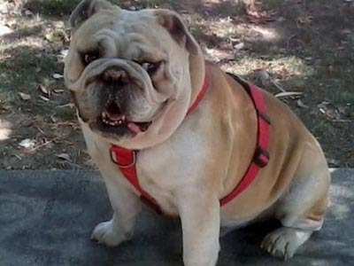 Nano, el bulldog inglés que murió tras una hora de exposición al sol en pleno mes de julio. Reclamador.es