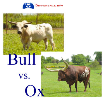 bull vs ox | Tacky Harper's Cryptic Clues