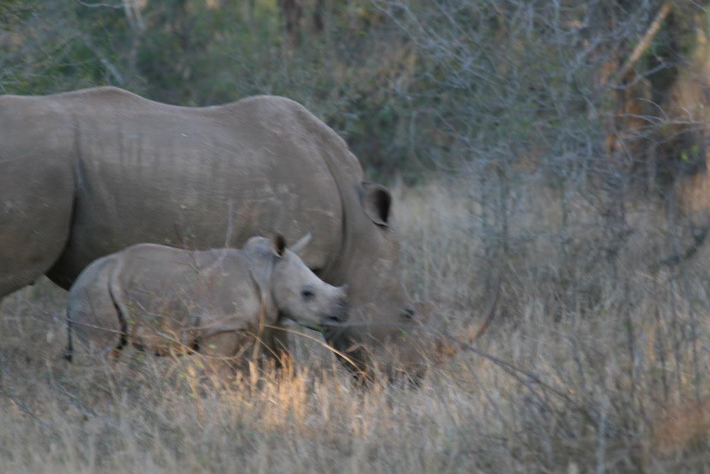 rhinoceros, baby rhinoceros