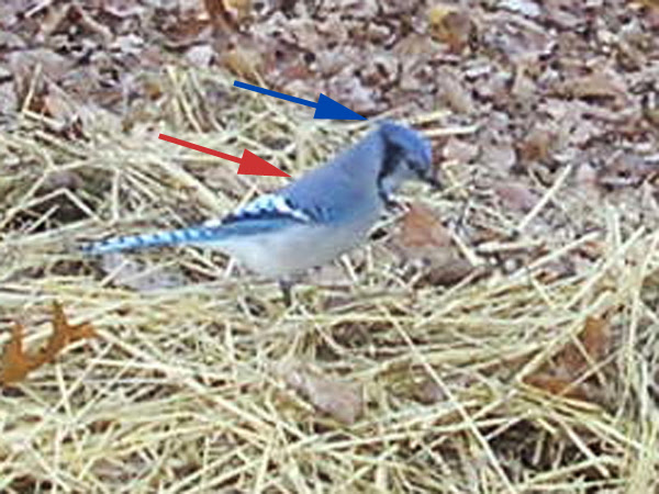 Blue Jay Cyanocitta Cristata A Field Guide To Compost Visitors