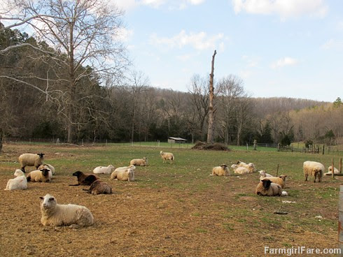 Sheep Freedom Day (1) - Waiting for their breakfast hay to be delivered - FarmgirlFare.com