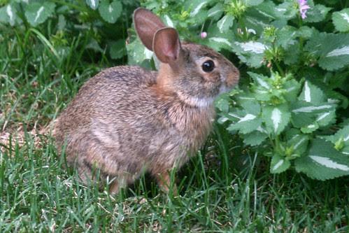 rabbit 145