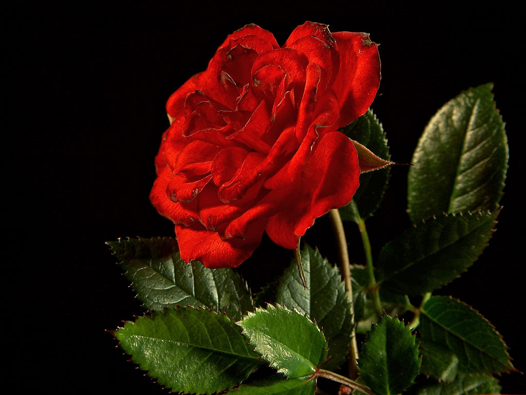 Gambar Bunga Mawar Ukuran Besar Davea Site